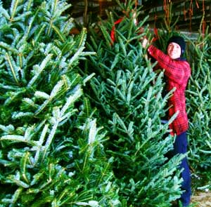 Fresh Christmas Trees.Fresh Christmas Trees At Downey S Farm Market In Caledon